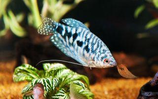 Какие самые неприхотливые аквариумные рыбки?