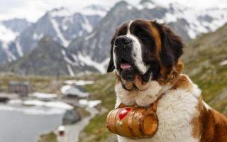 Самая большая порода собак: настоящие гиганты (+ фото и видео)