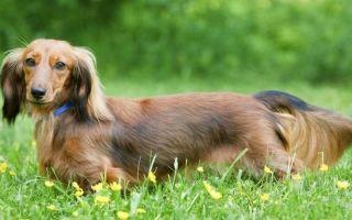 Топ-10 самых красивых пород собак — шотландский терьер, сибирский хаски и другие