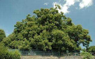Самое толстое дерево в мире: топ крупнейших деревьев на земле