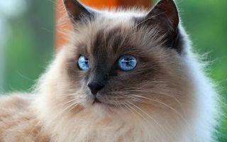 Самые милые котята: рейтинг очаровательных пород