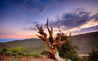 Какое самое старое дерево в мире?