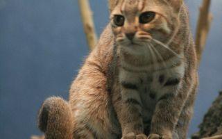 Самые маленькие кошки в мире — породы и их конкретные представители
