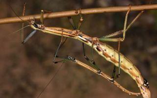 Самое большое насекомое в мире (топ крупных насекомых планеты)