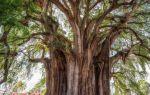 Какое самое большое дерево в мире по высоте, толщине и площади?