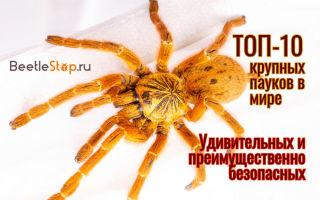 Какой самый большой паук в мире, как он выглядит?