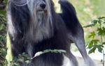 Какая порода собак самая редкая в мире