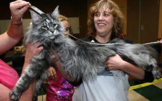 Самые большие в мире коты — мейн кун, ашера и другие