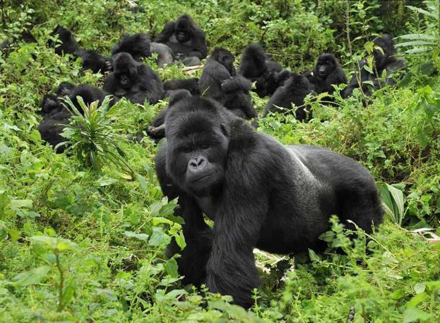 Какая обезьяна самая большая в мире: наиболее крупные их представители