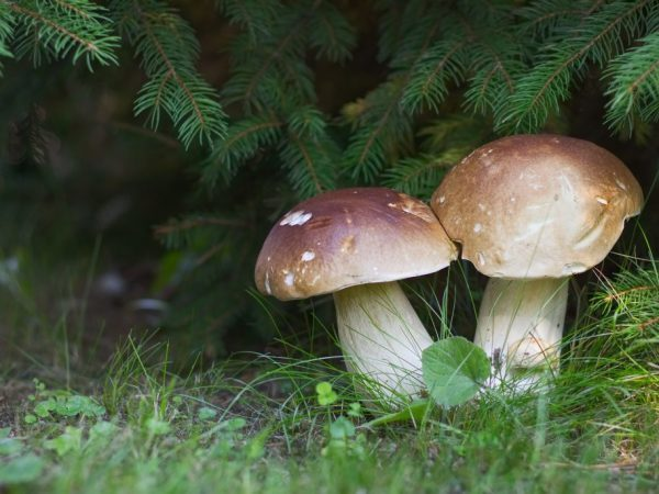 Самый большой гриб в мире, огромные экземпляры в россии