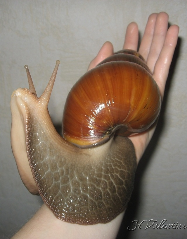 Самая большая улитка в мире, названия самых крупных видов