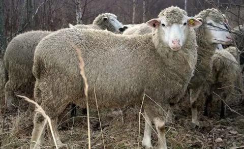 Самый большой баран в мире и самые крупные овцы