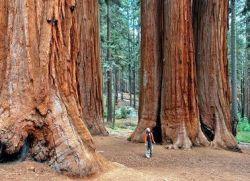 Какое самое высокое дерево на земле?