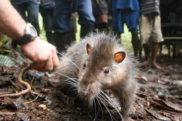Самая большая крыса в мире: топ-5 крупнейших грызунов