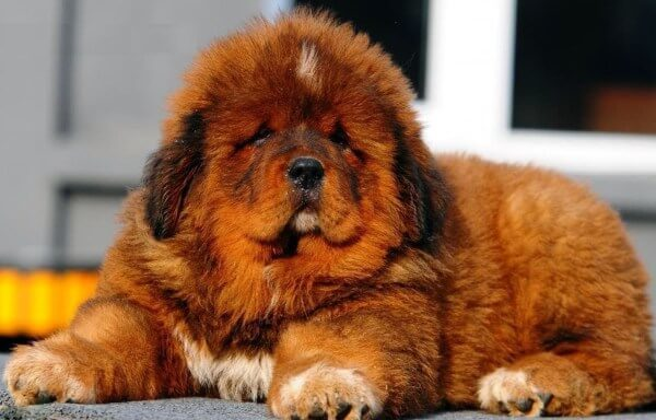 Какая самая сильная собака в мире: топ-10 сильных пород