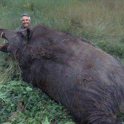 Самые большие в мире кабаны: какого они размера?