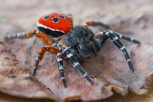 Самый ядовитый и опасный паук в мире и в россии