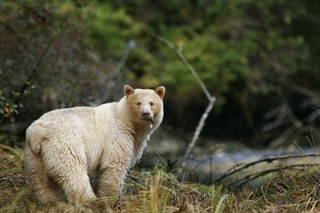 Самые большие медведи по размеру и весу