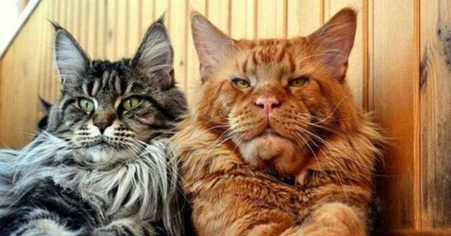 Самый красивый кот в мире, какие породы самые красивые