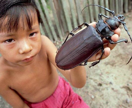 Какого размера самый большой жук в мире + его фото