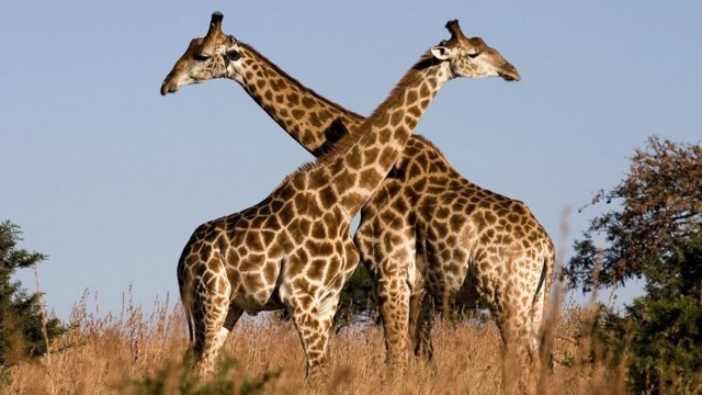 Самый высокий жираф в мире: подробно об этом большом животном