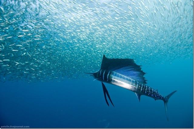 Какая самая быстра рыба в мире (какой вид)