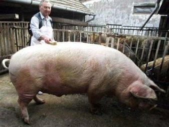 Какая самая большая свинья в мире и сколько она весила?