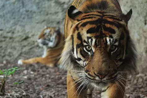 Самый большой тигр в мире: наиболее крупные виды