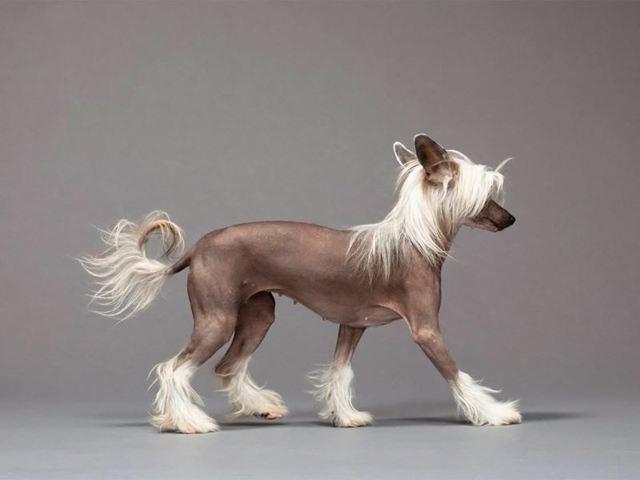 Какая самая дорогая собака в мире и какой она породы + фото