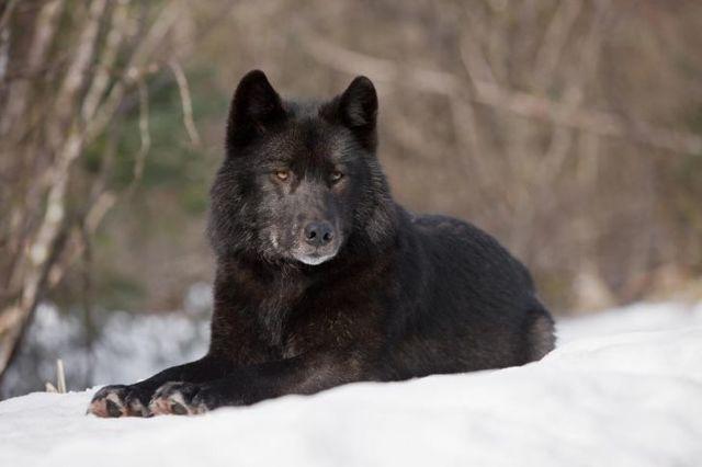Самый большой волк в мире: где живут крупные и сильные особи