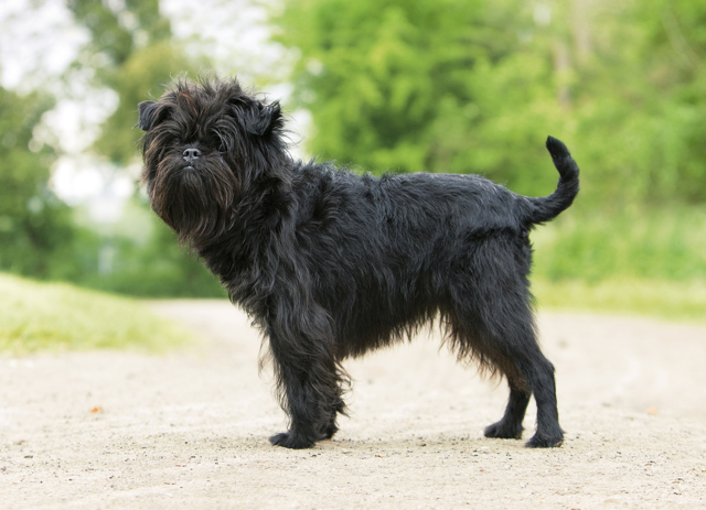 Какая самая маленькая порода собак + фото этих собачек