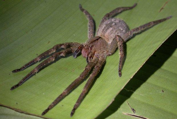 Какой самый большой паук в мире + фото как он выглядит