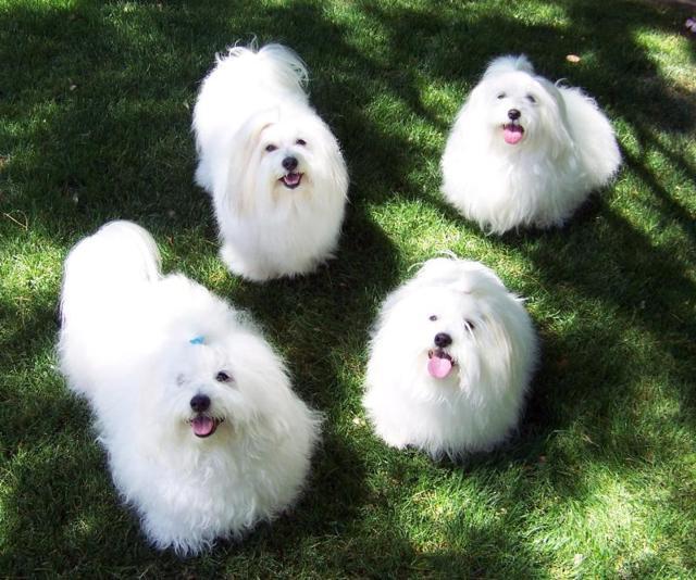 Самые маленькие собаки в мире - йоркширский терьер, чихуахуа, той пудель и другие