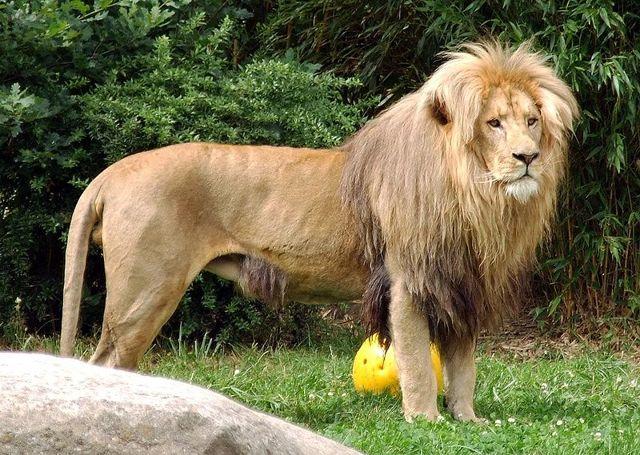 Самый большой лев в мире и где обитают такие крупные особи