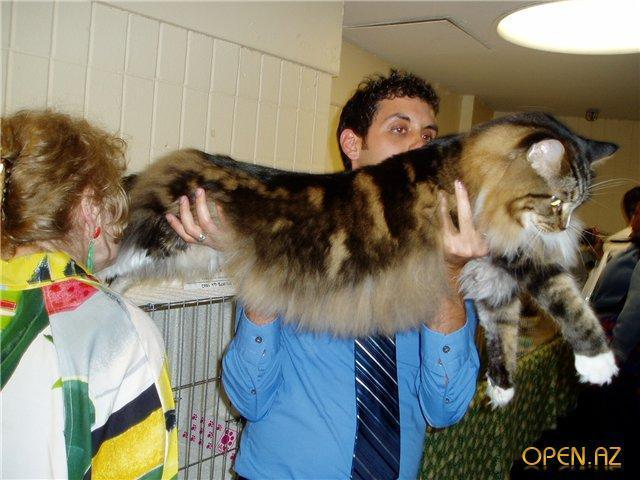 Самые большие в мире коты - мейн кун, ашера и другие