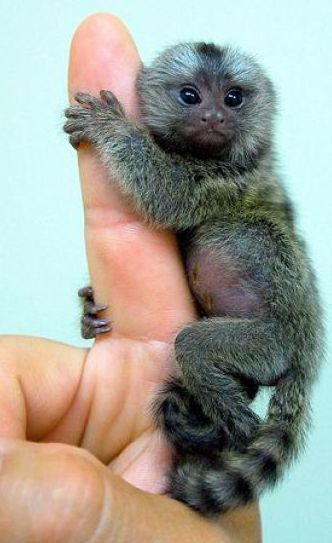 Самая маленькая в мире обезьянка (топ карликовых обезьян)