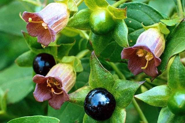 Какой самый ядовитый цветок в мире, где он растет