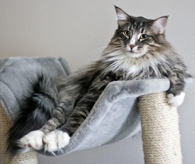 Самые большие коты в мире