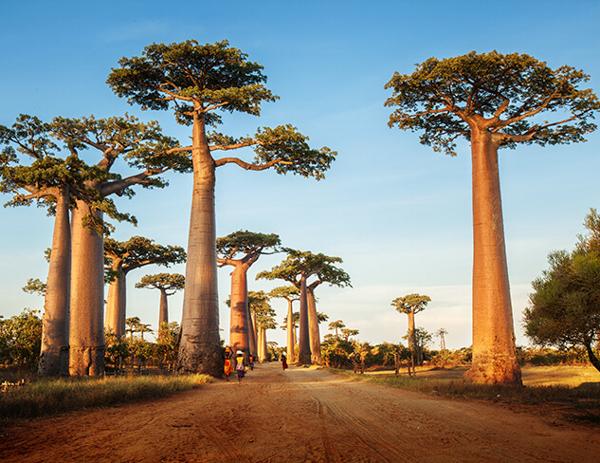 Самое большое дерево в мире по высоте, толщине и площади + фото