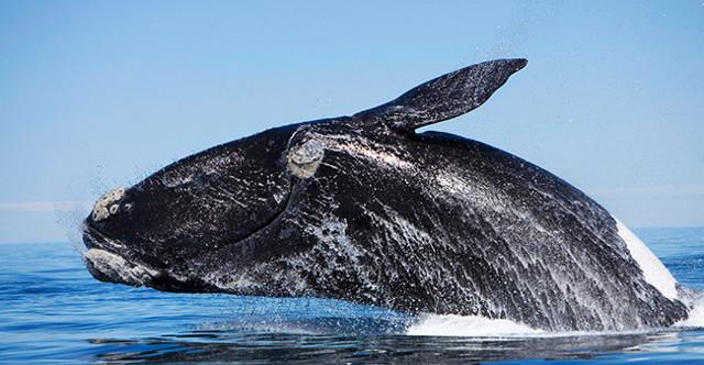 Какой самый большой в мире кит?