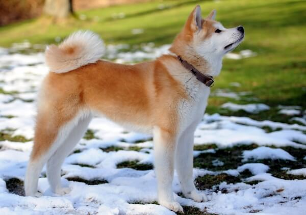Топ-10 самых красивых собак мира + их фото