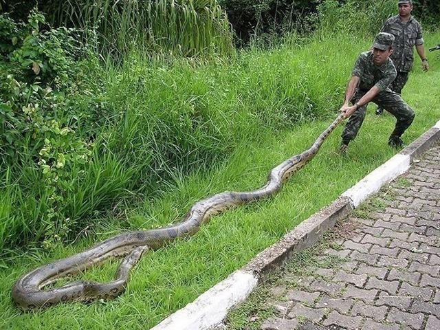 Самая большая анаконда в мире: список длинных и крупных особей