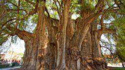 Какое самое старое дерево в мире + его фото