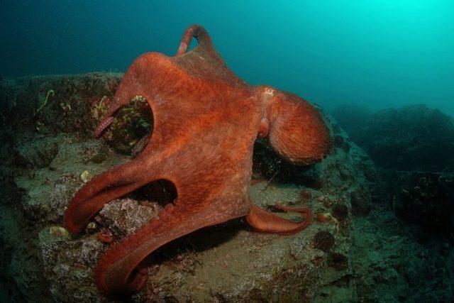 Какой самый большой в мире осьминог: список крупных животных