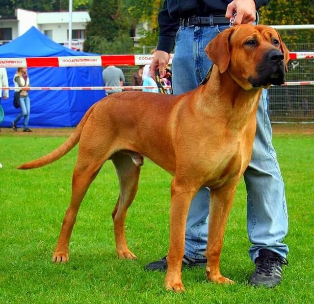 Самые крупные породы собак + фото их представителей