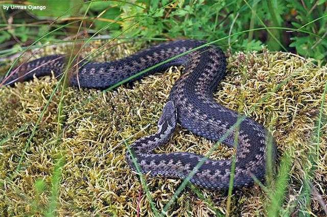 Какая самая ядовитая змея в мире и в россии + фото