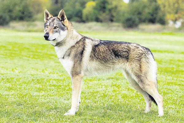 Топ-10 самых красивых пород собак - шотландский терьер, сибирский хаски и другие