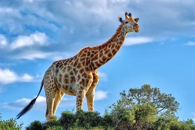 Какое самое большое сухопутное млекопитающее животное на земле