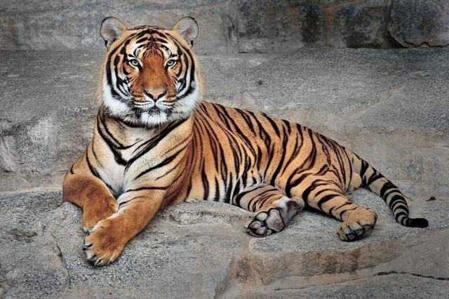 Как выглядит самый маленький тигр в мире, и где он живет