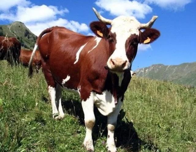 Самые большие быки в мире: очень крупный рогатый скот